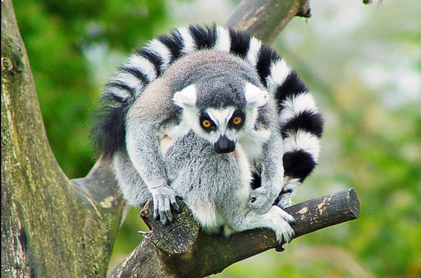 Lemures y su secreto del amor duradero