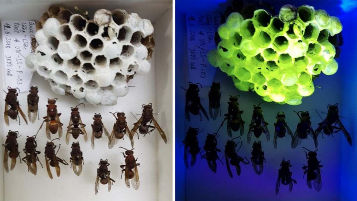 Nidos de avispas fluorescentes